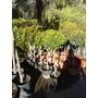Eugenia Myrtipholia Arbolito - Topiario (tirabuson) Envíos