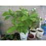 Plantitas De Palta De 2 Años
