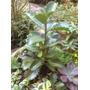 Kalanchoe Longiflora