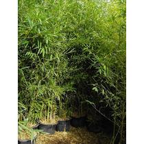 Plantas De Cañas De Bambú Y Tacuara De Cultivo Paisajista !