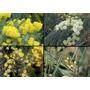 Acacia De Albata, Aromo 2,1 A 2,3 Mt Tronco Grosor 10/12 Cm