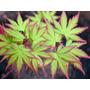 Acer Palmatum, Plantas, Jardin!