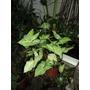 Syngonium Podophyllum - Disponible-maceta De Plastico N° 14