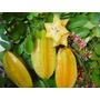 Fruto Estrella(plantin),carambola,frutales Exoticos D Maceta