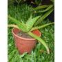 Aloe Vera - Saponaria - Planta Medicinal