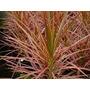 Planta De Interior Dracena Marginata Tricolor