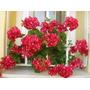 Geranios Dobles Cajon X 20 Plantas Vivero Online Elviveruski