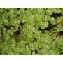 Salvinia Auriculata. Planta Acuática
