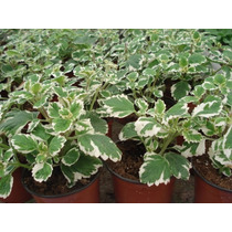 Planta Aromatica De Malva Incienso Maceta Tierra Exterior