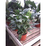 Planta De Interior Spathiphyllum