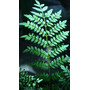 Plantin Jacaranda 15/30cm