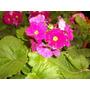 Plantin De Primulas Maceta N 12 Los Aromos Net