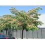 Acacia De Constantinopla De 2,50-3 M. Jardinyparque