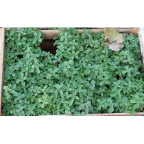 Plantas Aromaticas X 5 Unidades A Eleccion