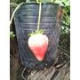 Frutillas Maceta Del 12 X 15 Unidades