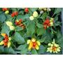 Aji Mala Palabra Picante Pp Aromaticas Huerta Plantin Vivero