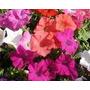 Cajon Plantines Temporada X 20 Petunias Conejito Elviveruski