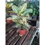 Planta De Inteiror Croton Híbrido
