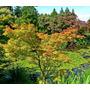 Plantines De Cinco Árboles Ornamentales - Ginkgo - Acer -
