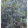 Plantas Aromaticas Laurel - Zona Sur - Envios