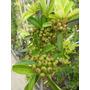 Plantas Para Cerco Crataegus, Grateus Pyracantha Coccinea