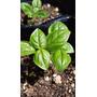 Plantines Orgánicos De Albahaca ! Cultiva Lo Tuyo ! Un Rojo