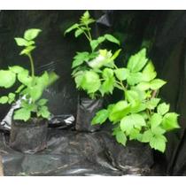 Plantin De Frutos Rojos (variedad A Elección)