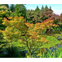Acer Palmatum (arce Japonés) - Oferta