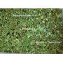 Plantas Tapizantes - Natsuki-