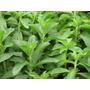 Planta De Yacon + Planta De Stevia +kit De Reproduccion