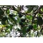 Palta 50-80 Cms.: Planta Hacemos Envíos