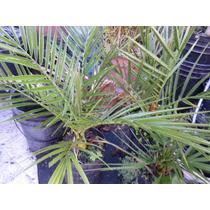 Palmera Phoenix Dactylifera O Datilera (variedad Israel)