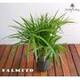 Palmito Plantas - Envios
