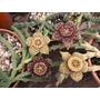 Asclepiadaceas: Stapelias,huernias,orbeas ,orbeanthus Y Mas