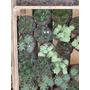 Suculentas Crasas Plantas