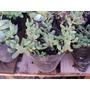Crássula Rogersii -crasa- Suculenta. Maceta De Cultivo N°12