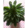 Echeveria Coccinea - Crasa / Suculenta