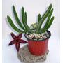 Asclepiadaceas: Stapelias, Huernias, Orbeas Piaranthus Y Mas