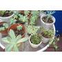Set De 3 Plantas Suculentas/crasas Arraigadas