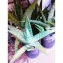 Remato Aloe Vera Medicinal