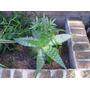 Aloe Vera- Excente Plantas!!!!