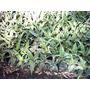 Aloe Vera Medicinal Saponaria Plantas Suculentas En Córdoba