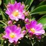 Peireskia Sacharosa. Cactus. Autóctono
