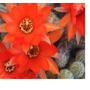 Cactus Deditos Echinopsis Chamaecereus
