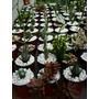 Cactus Y Crasas De Cultivo Propio En Macetas N 9