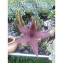 Cactus Estapelia Grandiflora
