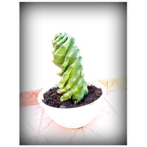 Cactus Espiral En Córdoba