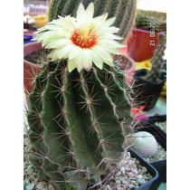 Semillas De Cactus Thelocactus Setispinus