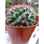 Semillas De Cactus Mammilaria Bocensis