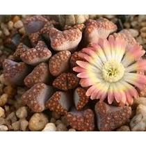 Variedad Cactus Y Crasas Maceta 10